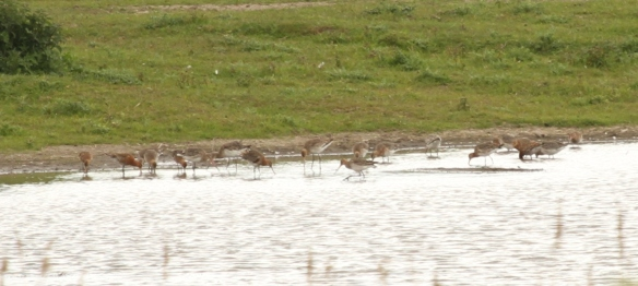 17.05.15. Black-tailed Godwit, No.3 tank, Frodsham Marsh. Heather Wilde