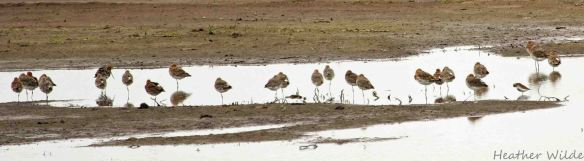 30.05.15. Black-tailed Godwit No.3 tank, Frodsham Marsh. Heather Wilde