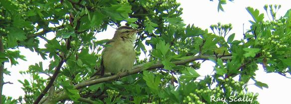 sedge warbler by Ray Scally