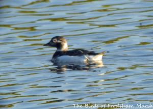 03.06.15. female Long-tailed Duck, No.6 tank, frodsham Marsh, Cheshire. Bill Morton (1)