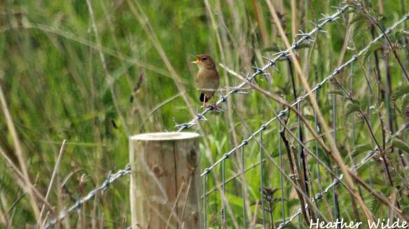 07.06.15. Heather Wilde Frodsham Birds (10)