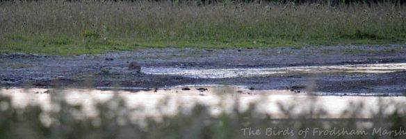 11.06.15. Green Sandpiper, No.3 tank Frodsham Marsh. Bill Morton