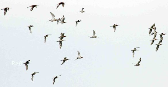 14.06.15. Black-tailed Godwits and Ruff, No.6 tank, Frodsham Marsh. Heather Wilde (1)