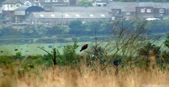 14.06.15. feamle Marsh Harrier, No.4 tank, Frodsham Marsh. Heather Wilde