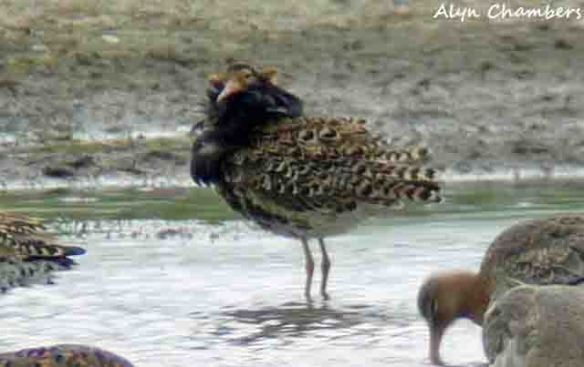 14.06.15.  male Ruff, No.3 tank, Frodsham Marsh
