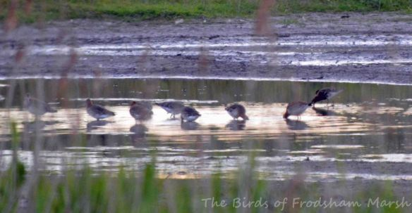 16.06.15. Black-tailed Godwits and Ruff, No.3 tank, Frodsham Marsh. Bill Morton