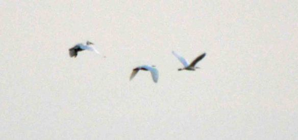 16.06.15. Little Egrets, No.6 tank, Frodsham Marsh. Bill Morton