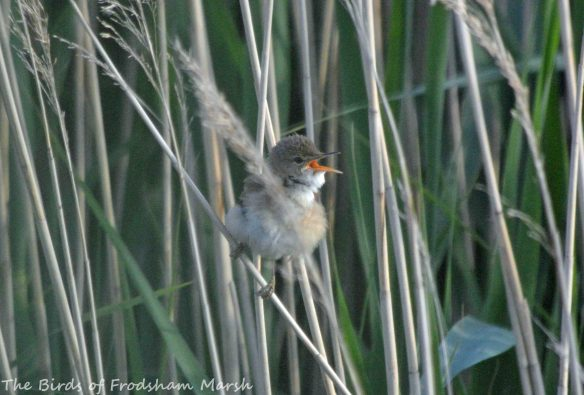 16.06.15. Reed Warbler, No.63 tank, Frodsham Marsh. Bill Morton