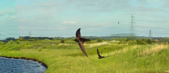 18.06.15. Swifts, Weaver Bend, Frodsham Marsh (3)