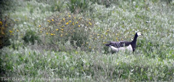20.06.15. Barnacle Goose, No.6 tank, Frodsham Marsh. Bill Morton