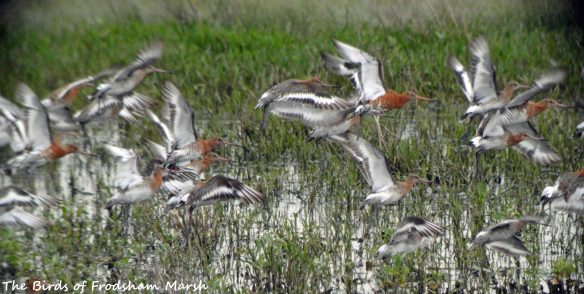 20.06.15. Black-tailed Godwits, No.6 tank, Frodsham Marsh. Bill Morton