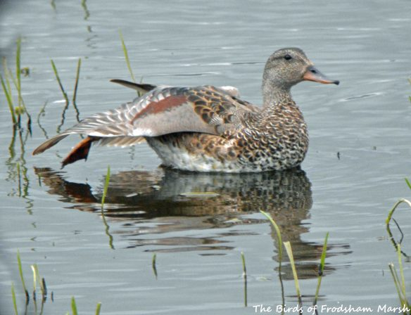 20.06.15. drake Gadwall, No.6 tank, Frodsham Marsh. Bill Morton