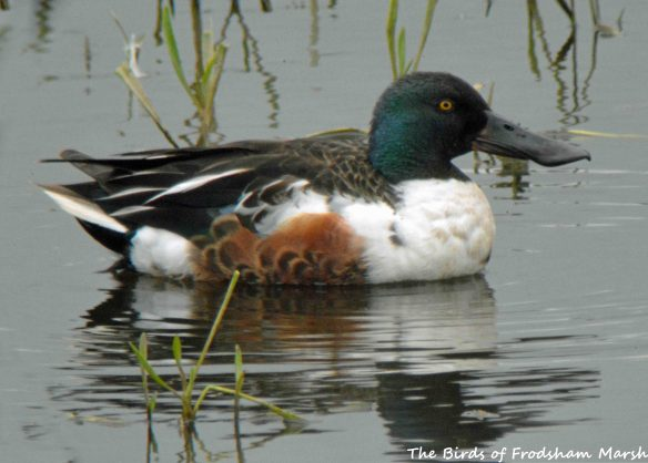 20.06.15. drake Shoveler, No.6 tank, Frodsham Marsh. Bill Morton