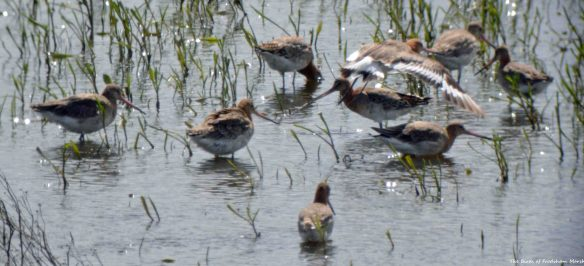 21.06.15. Black-tailed Godwits, No.6 tank, Frodsham Marsh. Bill Morton