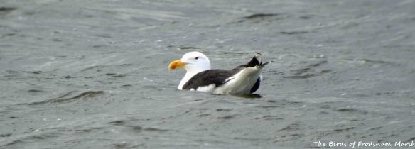 22.06.15. Great Black-backed Gull, Weaver Bend, Frodsham Marsh. Bill Morton (3)