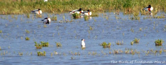 22.06.15. Mediterranean Gull, No.6 tank, Frodsham Marsh. Bill Morton (2)