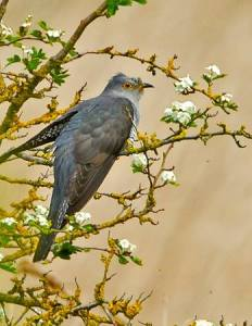 Cuckoo (male), Frodsham Marsh. May 2014. Paul Scoullar
