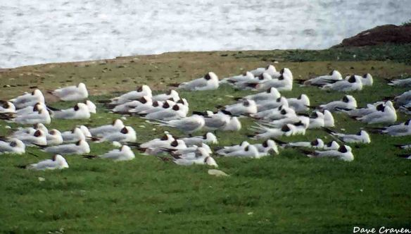 Sandwich Terns and Black-headed Gull roost at Pickerings Pasture, June 2015. Dave Craven