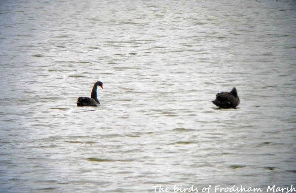 07.07.15. Black Swans, No.6 tank, Frodsham Marsh
