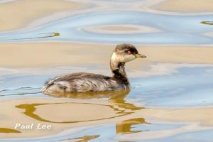 14.07.15. juvenile Black-necked Grebe, No.6 tank, Frodsham Marsh. Paul Lee