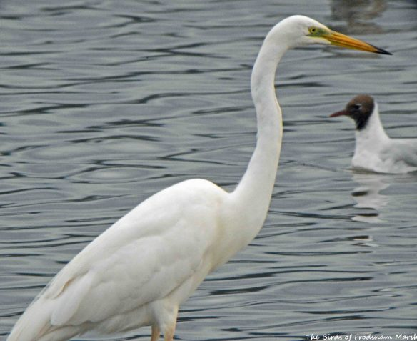 12.07.15. Great White Egret, no.6 tank, Frodsham Marsh. Bill Morton