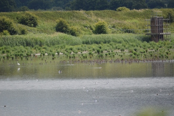 14.07.15. Great White and Black-tailed Godwits, No.6 tank, Frodsham Marsh. Bill Morton (1)