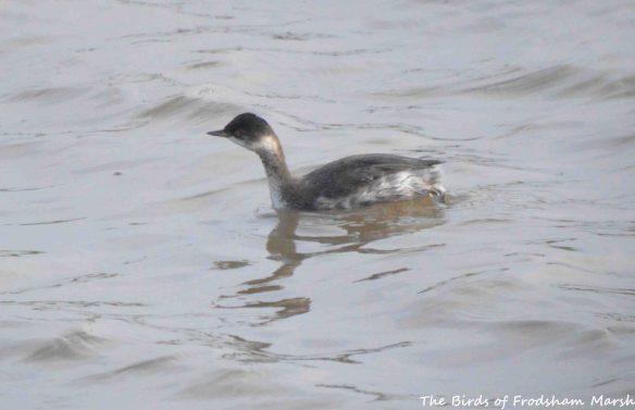 16.07.15. Black-necked Grebe (juvenile), No.6 tank, Frodsham Marsh. Bill Morton (1)