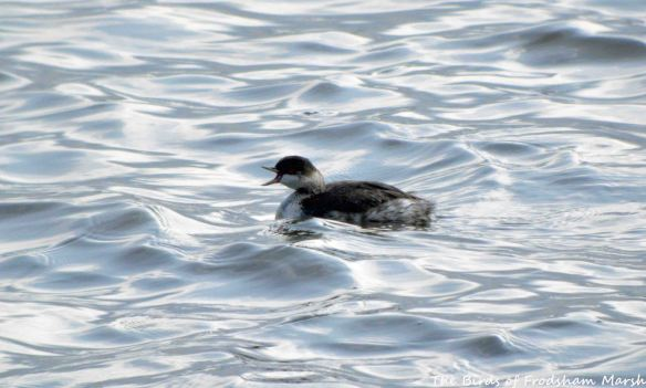 16.07.15. Black-necked Grebe (juvenile), No.6 tank, Frodsham Marsh. Bill Morton (3)
