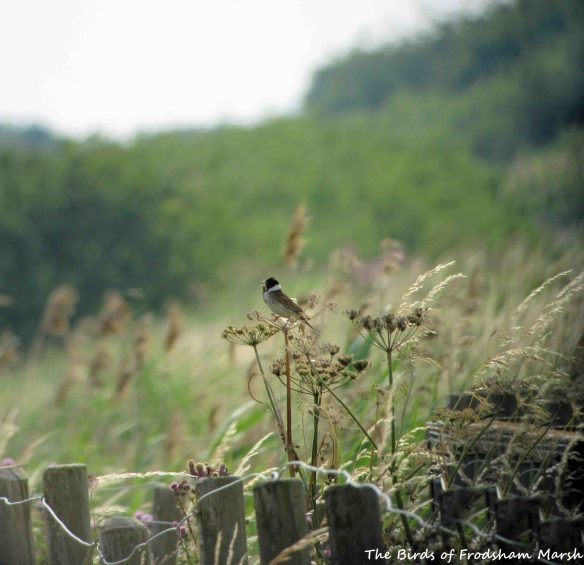 16.07.15. Reed Bunting (male), No.6 tank, Frodsham Marsh. Bill Morton (1)