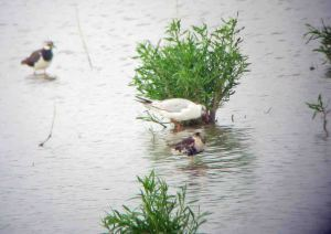 16.07.15. Ruff, No.6 tank, Frodsham Marsh. Bill Morton