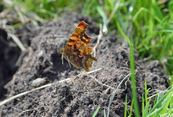 19.07.15. Comma Butterfly in flight, Dealmere Forest. Bill Morton
