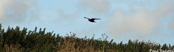 19.07.15. Marsh Harrier, No.6 tank, Frodsham Marsh. Paul Ralston (2)