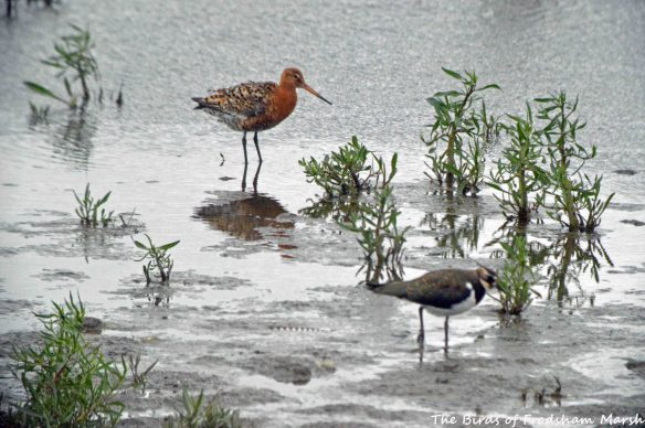 21.07.15. Black-tailed Godwit, No.6 tank, Frodsham Marsh. Bill Morton (1)