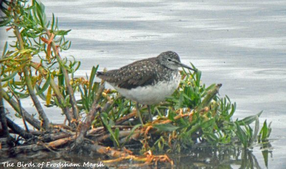 21.07.15. Green Sandpiper, No.6 tank, Frodsham Marsh. Bill Morton (3)
