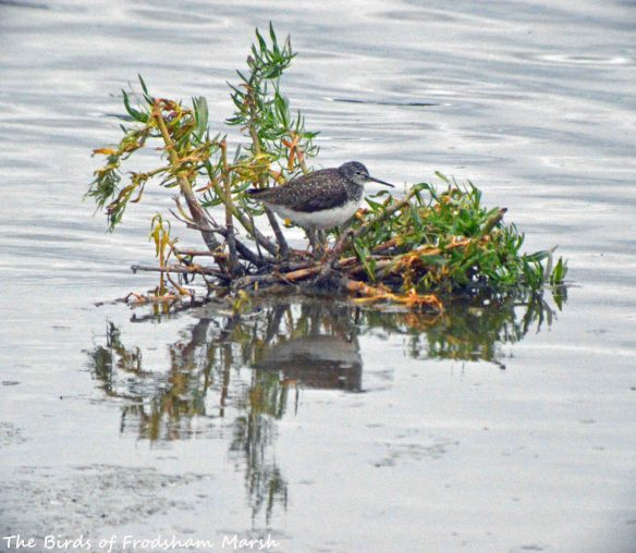 21.07.15. Green Sandpiper, No.6 tank, Frodsham Marsh. Bill Morton (5)