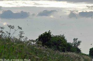 21.07.15. Swifts over No.6 tank, Frodsham Marsh. Bill Morton