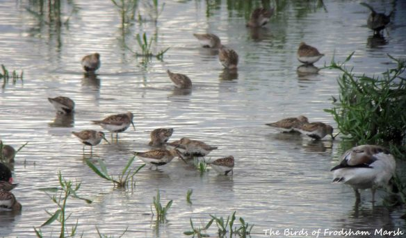 23.07.15. Dunlin, No.6 tank, Frodsham Marsh. Bill Morton