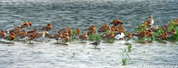 23.07.15. Greenshank and Black-tailed Godwits, No.6 tank, Frodsham Marsh. Bill Morton (1)