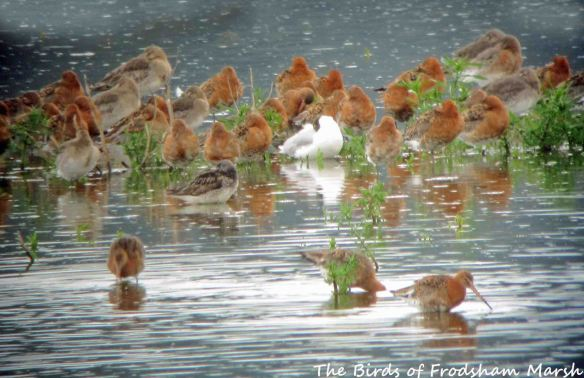 23.07.15. Greenshank and Black-tailed Godwits, No.6 tank, Frodsham Marsh. Bill Morton (2)