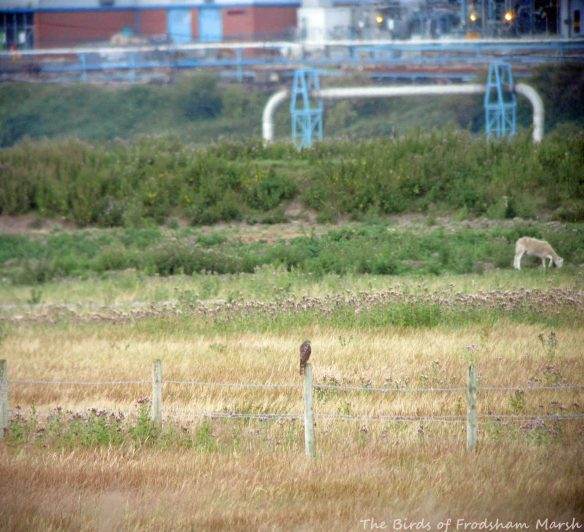 23.07.15. juvenile Sparrowhawk, No.5 tank, Frodsham Marsh. Bill Morton (2)