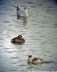25.07.15. juvenile Black-necked Grebe with Black-headed Gull and juvenile Shelduck, No.6 tank, Frodsham Marsh. Alyn Chambers (2)