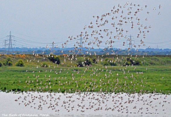 26.07.15. Black-tailed Godwit flock, No.6 tank, Frodsham Marsh. Bill Morton.