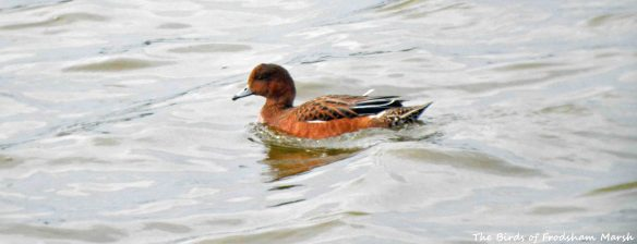 26.07.15.Eclipse drake Wigeon, No.6 tank, Frodsham Marsh. Bill Morton