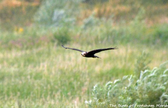 26.07.15. juvenile Marsh Harrier, No.6 tank, Frodsham Marsh. Bill Morton (1)