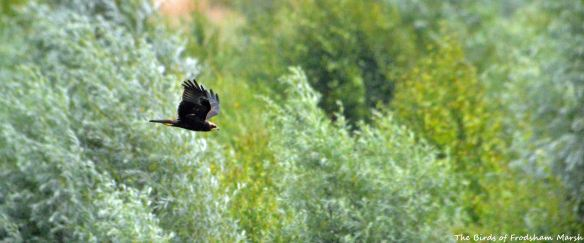 26.07.15. juvenile Marsh Harrier, No.6 tank, Frodsham Marsh. Bill Morton (2)