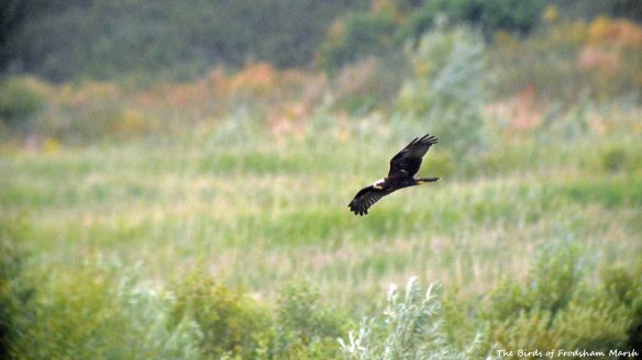26.07.15. juvenile Marsh Harrier, No.6 tank, Frodsham Marsh. Bill Morton (3)