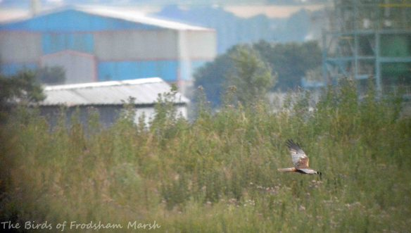 26.07.15.male Marsh Harrier, No.6 tank, Frodsham Marsh. Bill Morton (4)