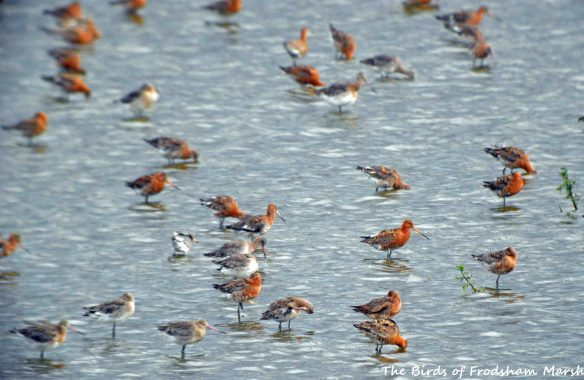 28.07.15. Black-tailed Godwits, No.6 tank, Frodsham Marsh. Bill Morton (2)