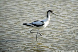 30.07.15. Avocet, No.6 tank, Frodsham Marsh. Bill Morton (2)