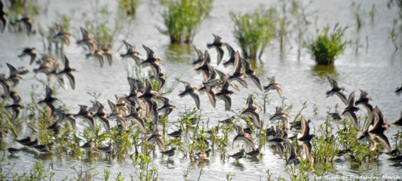30.07.15. Dunlin, No.6 tank, Frodsham Marsh. Bill Morton